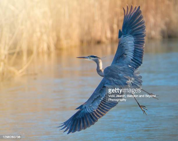 stunning great blue heron flying over pond in chester county, pennsylvania - spread wings stock pictures, royalty-free photos & images