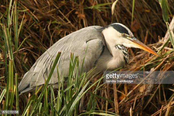 A stunning Grey Heron (Ardea cinerea) sitting in the Reeds hunting for fish..
