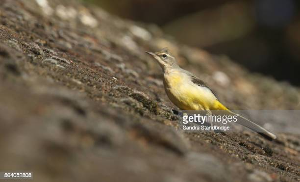 A stunning Grey Wagtail (Motacilla cinerea) perched on a roof.