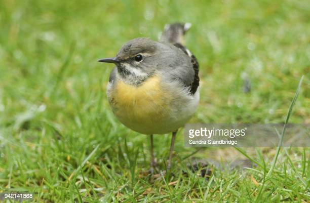 A stunning Grey Wagtail (Motacilla cinerea) searching for insects to eat in the grass.