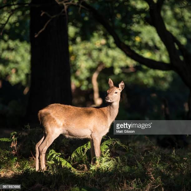 stunning hind doe red deer cervus elaphus in dappled sunlight fo - chevreuil photos et images de collection