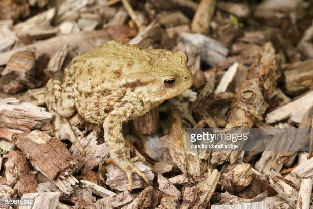 A stunning hunting Common Toad (Bufo Bufo).