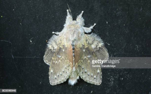 a stunning lobster moth (stauropus fagi), also known as lobster prominent. - hertford hertfordshire stockfoto's en -beelden