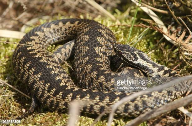 A stunning male Adder ( Vipera berus) just out of hibernation  warming itself in the spring sunshine.