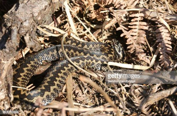 A stunning male Adder ( Vipera berus) warming itself in the spring sunshine.
