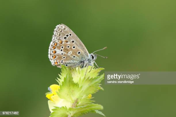 A stunning male Adonis Blue Butterfly (Polyommatus bellargus) perching on a Yellow Rattle flower (Rhinanthus minor).