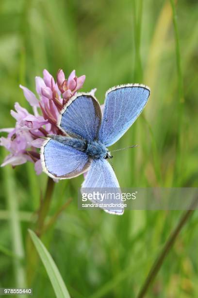 A stunning male Adonis Blue Butterfly (Polyommatus bellargus) perching on an Orchid.