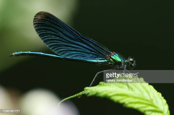 a stunning male beautiful demoiselle damselfly, calopteryx virgo, perching on a leaf at the edge of a stream in the uk. - stream stock pictures, royalty-free photos & images