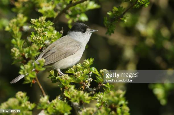 a stunning male blackcap (sylvia atricapilla) perching on the branch of a tree. - cap stock pictures, royalty-free photos & images