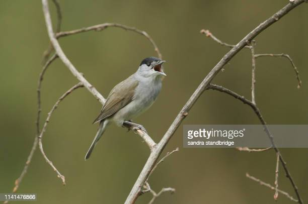 a stunning male blackcap (sylvia atricapilla) perching on the branch of a tree singing. - warbler stock pictures, royalty-free photos & images