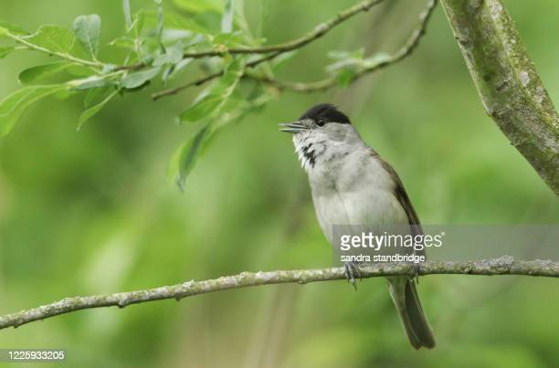 a stunning male blackcap (sylvia atricapilla) perching on the branch of a willow tree singing in spring. - singing stock pictures, royalty-free photos & images