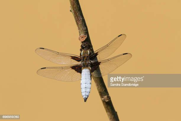 A stunning male Broad-bodied Chaser (Libellula depressa) perched on a stick.