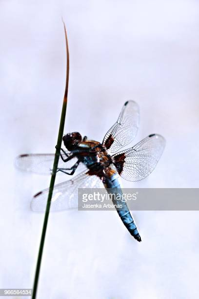 A stunning male Broad-bodied Chaser (Libellula depressa)