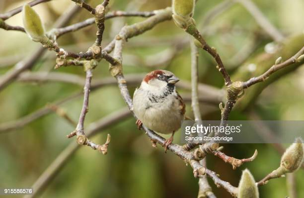 a stunning male house sparrow (passer domesticus) perched in between the buds of a magnolia tree. - hertford hertfordshire stock pictures, royalty-free photos & images
