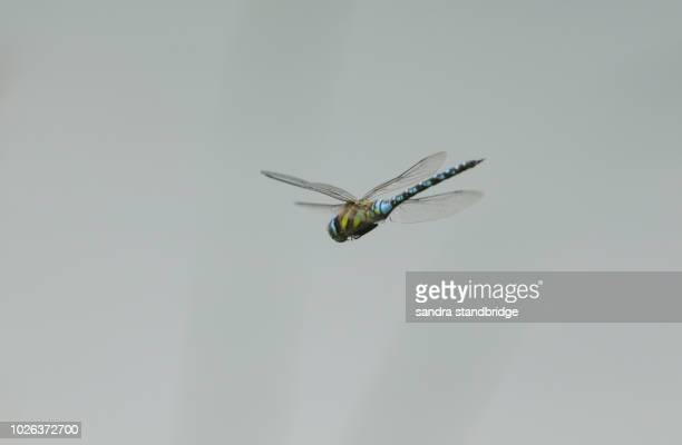 a stunning migrant hawker dragonfly (aeshna mixta) flying over a lake in the uk. - dragonfly stock-fotos und bilder