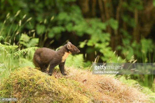 a stunning pine marten (martes martes) standing on a mossy mound in the highlands of scotland. - pine marten stock pictures, royalty-free photos & images