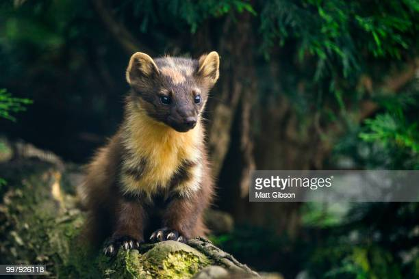 stunning pine martin martes martes on branch in tree - pine marten stock pictures, royalty-free photos & images