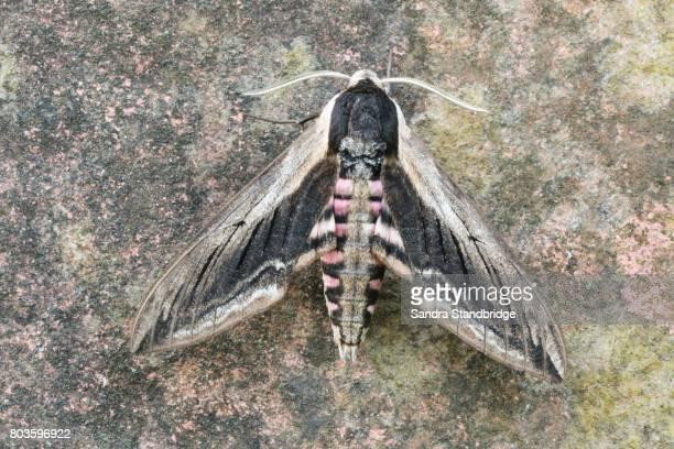 a stunning privet hawk-moth (sphinx ligustri) perched on a wall. - hertford hertfordshire stockfoto's en -beelden