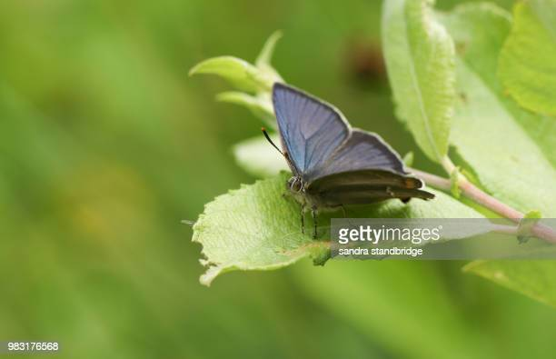 a stunning purple hairstreak butterfly (favonius quercus) perching on a leaf in woodland with spread wings. - hertford hertfordshire stockfoto's en -beelden