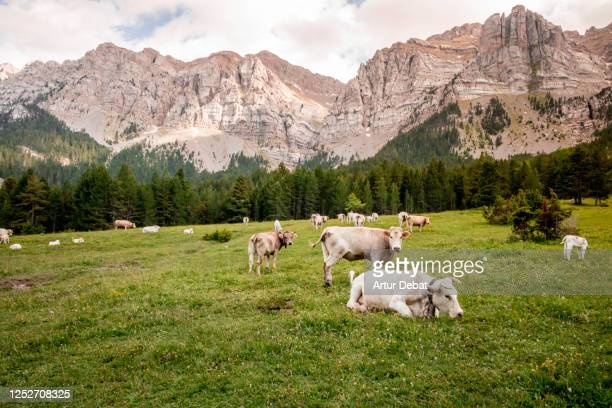 stunning pyrenees mountains in summer with rock formation and alpine meadow. los pirineos en verano. - レリダ県 ストックフォトと画像
