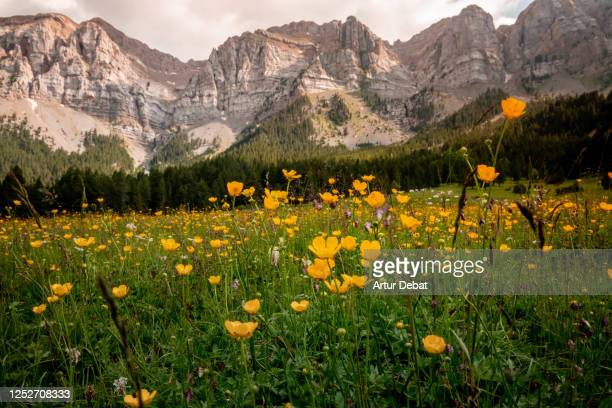 stunning pyrenees mountains in summer with rock formation and blooming meadow. los pirineos en verano. - ピレネー ストックフォトと画像