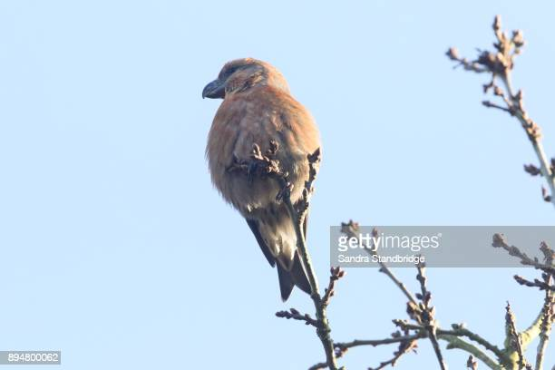 a stunning rare male parrot crossbill (loxia pytyopstittacus) perched in the branch of a  tree. - limb body part stock pictures, royalty-free photos & images