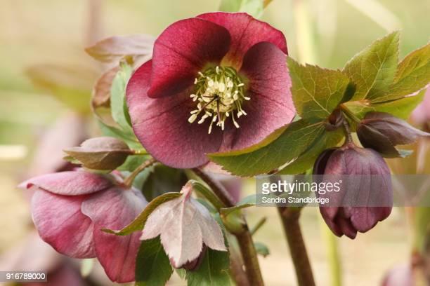 a stunning red christmas rose helleborus. - ヘレボルス ストックフォトと画像
