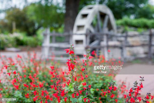 Stunning Red Flowers in Front of a Water Wheel