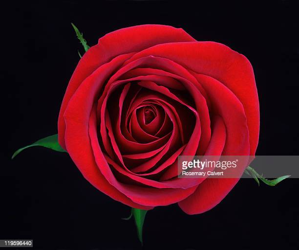 Stunning red rose from above on black background