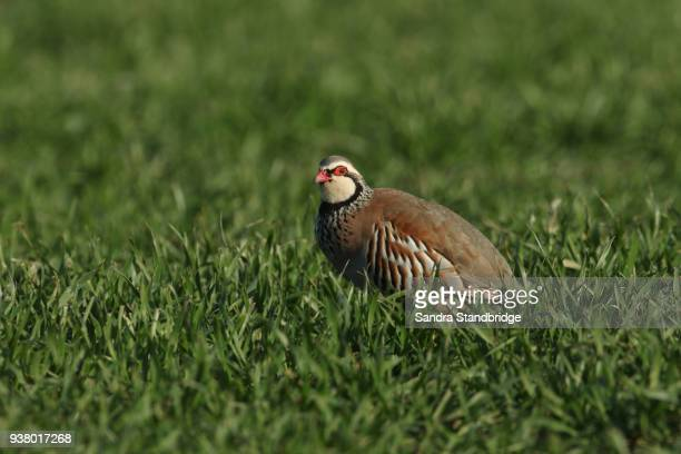 a stunning red-legged partridge (alectoris rufa) feeding in a grassy field. - pheasant tail feathers stock pictures, royalty-free photos & images
