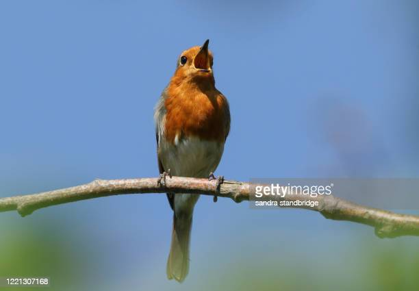 a stunning robin (erithacus rubecula) perched on a branch of a tree singing. - singing stock pictures, royalty-free photos & images
