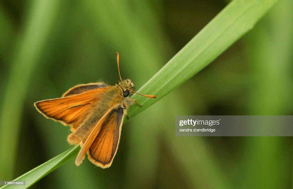 Thymelicus sylvestris de France