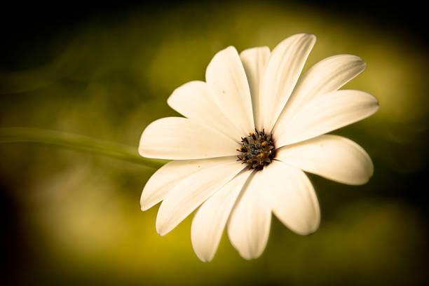 Stunning Soft White Flower - Daisy Wall Art
