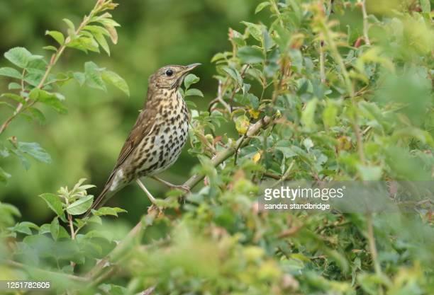 a stunning song thrush (turdus philomelos) perched on a branch of a dog rose bush. - tordo bottaccio foto e immagini stock