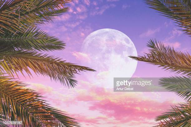 stunning sunset sky with full moon and palm trees. - pink moon stock pictures, royalty-free photos & images