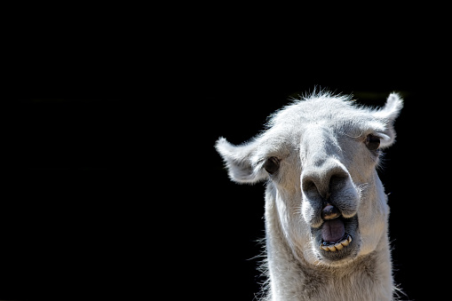 Stupid looking animal. Goofy llama. Funny meme image with copy-space. 1020573744