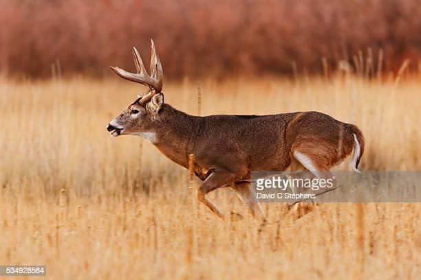 Sturdy Buck Runs After Doe Through Tall Grass