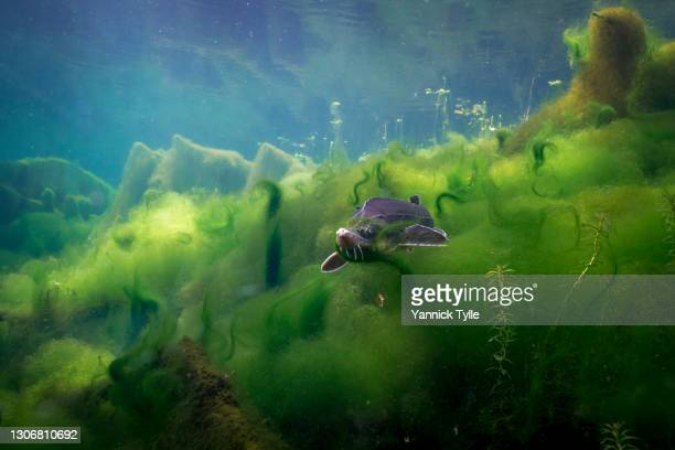 sturgeon in algae under water in an old branch of the river rhine - sturgeon fish stock pictures, royalty-free photos & images