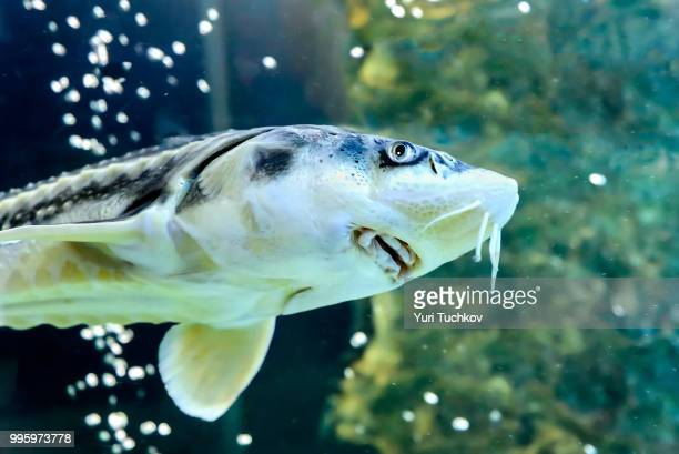 sturgeon - sturgeon fish stock pictures, royalty-free photos & images