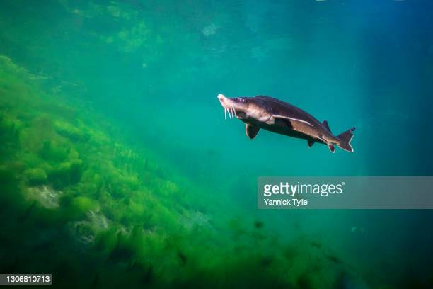 sturgeon under water in an old branch of the river rhine - sturgeon fish stock pictures, royalty-free photos & images