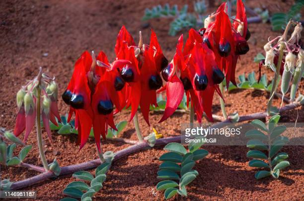 sturt's desert pea (swainsona formosa) in bloom - australian capital territory stock pictures, royalty-free photos & images