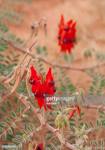 Sturts desert pea Swainsona Formosa flowers MillstreamChichester National Park Pilbara region Western Australia Australia