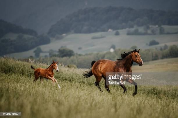 stute mit fohlen im galopp auf der wiese - paard paardachtigen stockfoto's en -beelden