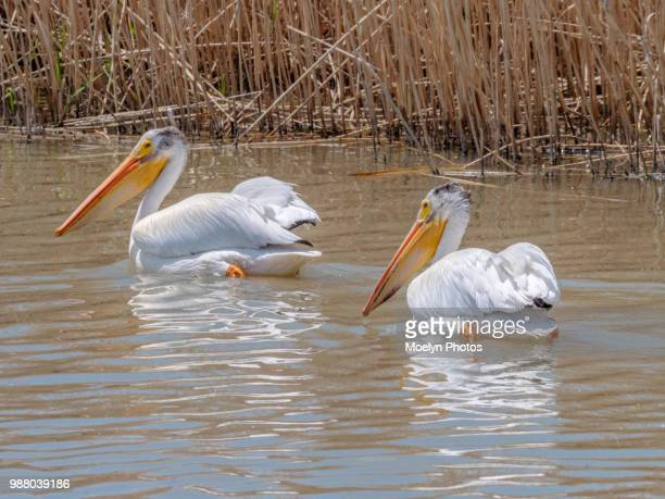 Sub-Adult American Whit Pelicans - Bear River Migratory Bird Refuge