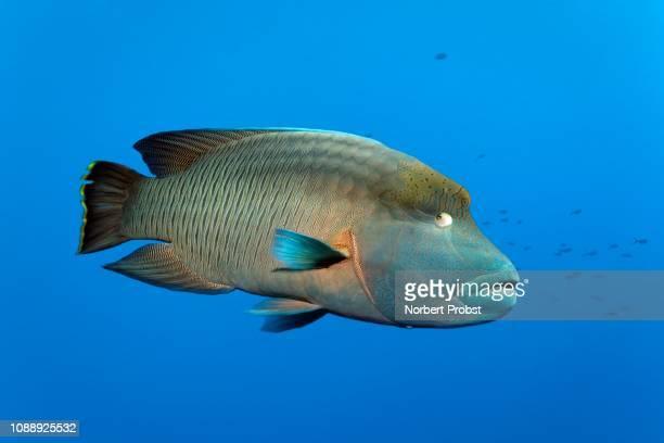 subadult humphead wrasse (cheilinus undulatus), great barrier reef, pacific - メガネモチノウオ ストックフォトと画像