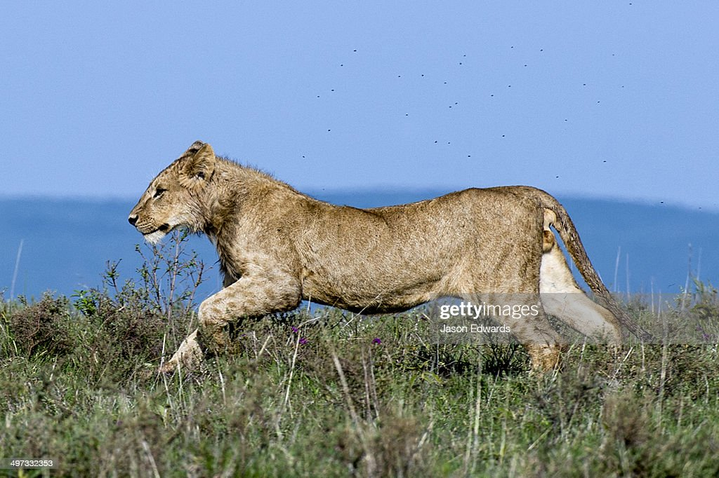 A sub-adult male African Lion runs across the savannah grasslands shrouded in a swarm of flies. : Stock Photo