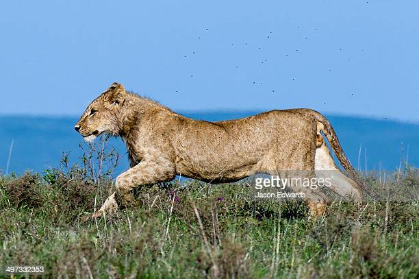 A sub-adult male African Lion runs across the savannah grasslands shrouded in a swarm of flies.