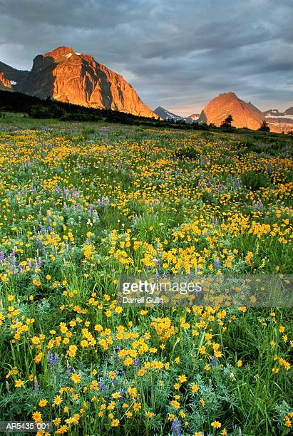 sub-alpine meadow, glacier national park, montana, usa - western usa stock pictures, royalty-free photos & images