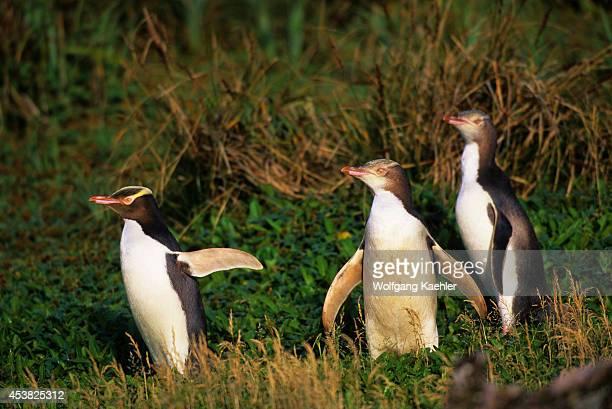 Subantarctic New Zealand Auckland Islands Enderby Island Yelloweyed Penguins