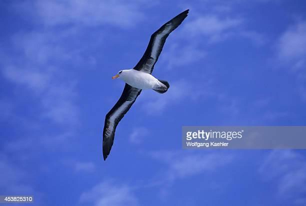 Subantarctic New Zealand Near Campbell Island Blackbrowed Albatross In Flight